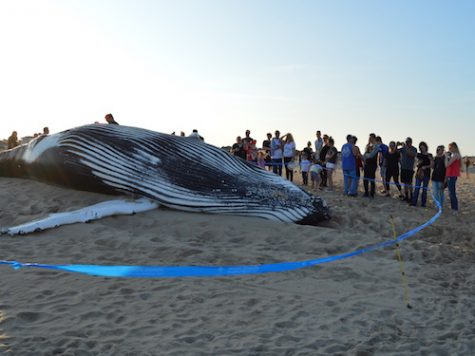 Whale deaths rise locally