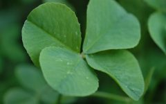 FOUR LEAF CLOVERS stand out among a blurred background as a symbol for Saint Patrick's Day. Four leaf clovers were initially identified as a sign of good luck in the fifteenth century.