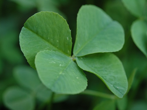 FOUR LEAF CLOVERS stand out among a blurred background as a symbol for Saint Patrick